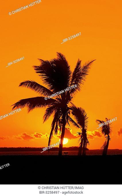 Coconut Palms (Cocos nucifera) at sunrise