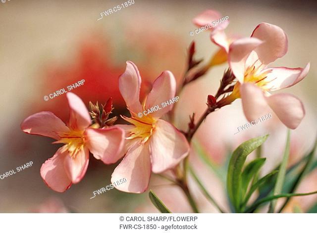 Plumeria rubra, Frangipani, West Indian jasmine, Monoi, Pink subject
