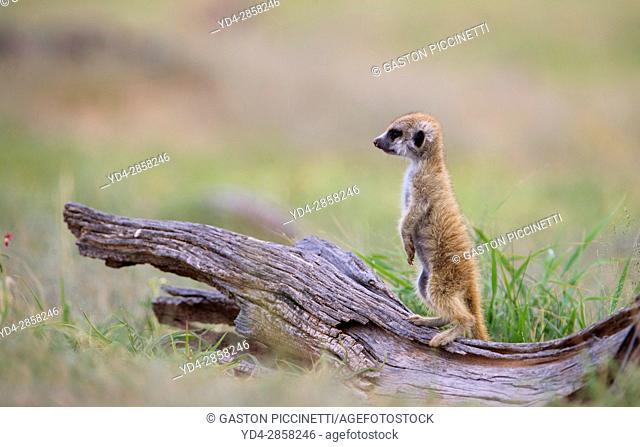 Suricate (Suricata suricatta) - Young, on a wooden log watching. Kgalagadi Transfrontier Park, Kalahari desert, South Africa/Botswana