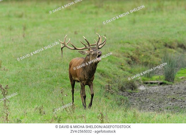 A Red deer (Cervus elaphus) male roaring at the edge of the woods.