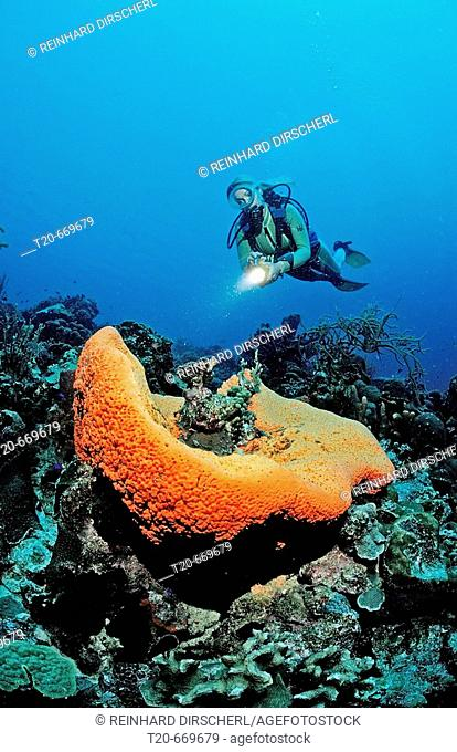 Scuba diver and Orange Elephant Ear Sponge, Agelas clathrodes, Netherlands Antilles, Bonaire, Caribbean Sea