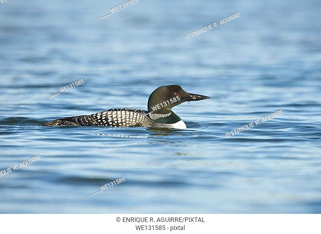Great Northern Loon (Gavia immer), Common Loon