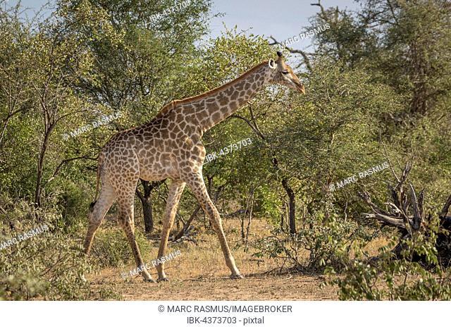 South African giraffe (Giraffa camelopardalis giraffa) running, African bush, Timbavati Game Reserve, South Africa