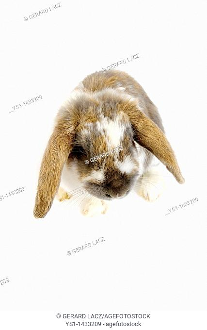 LOP-EARED RABBIT AGAINST WHITE BACKGROUND