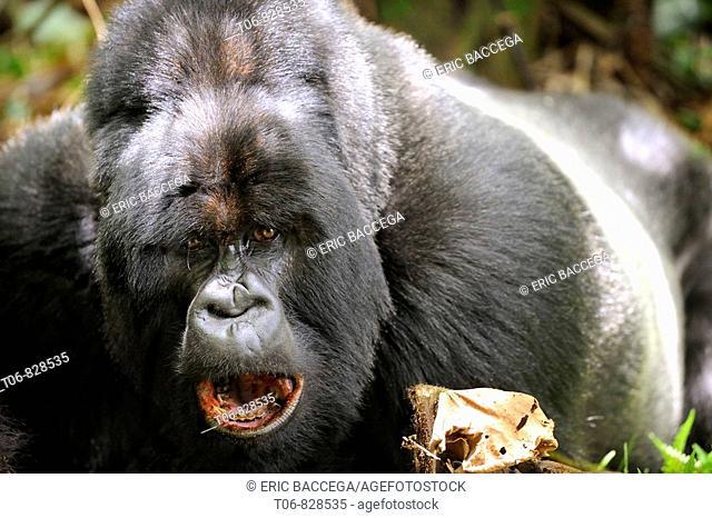 Male siverback mountain gorilla (Gorilla beringei beringei) Volcanoes National Park, Rwanda, Africa