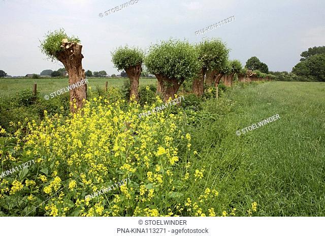 Willow, Pollard-willow Salix alba - Uiterwaard Cortenoever, IJsseluiterwaarden, Brummen, Guelders, The Netherlands, Holland, Europe