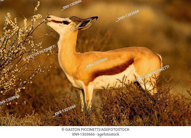 Springbok Antidorcas marsupialis, eating, Mabuasehube, Kgalagadi Transfrontier Park, Kalahari desert, Botswana