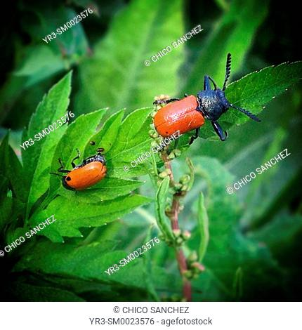 Red beetles in a green plant in Prado del Rey, Sierra de Grazalema, Andalusia, Spain
