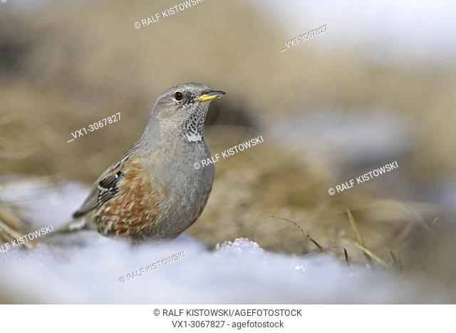 Alpine Accentor ( Prunella collaris ) sitting on the ground in a rest of snow, wildlife, Europe