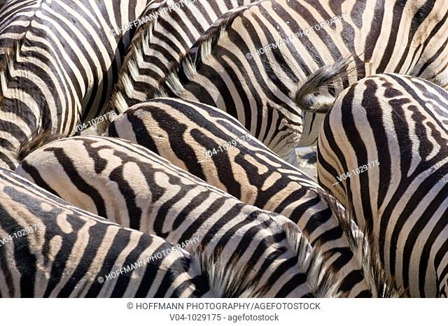 A herd of Burchell's zebras (Equus burchelli) in the dry river bed of the boteti river, Botswana