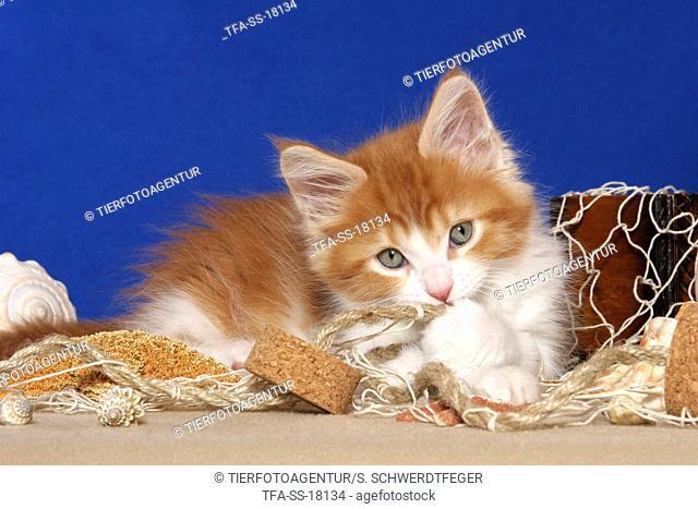 cute lying Maine Coon Kitten
