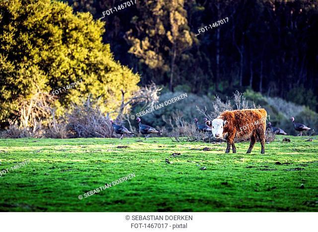 Calf on field