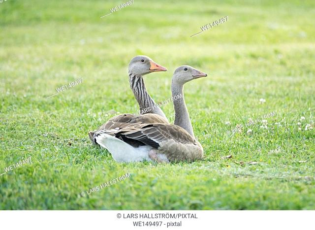 Two greylag geese on green grass. Wildlife nature scene with birds relaxing in a summer meadow