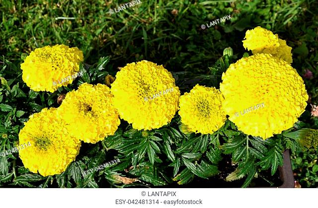 Tagetes in flower box