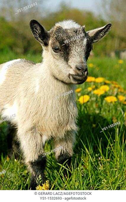 Pygmy Goat or Dwarf Goat, capra hircus, 3 Months Old Baby Goat standing on Dandelions