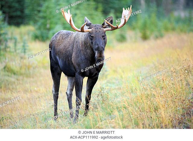 Bull moose, Spray Lakes Provincial Park, Alberta, Canada