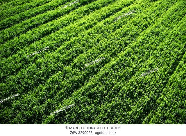 Top view of a field of newborn green wheat