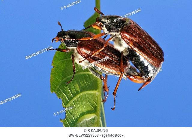 common cockchafer, maybug Melolontha melolontha, mating while clinged to a leaf, Germany, Baden-Wuerttemberg