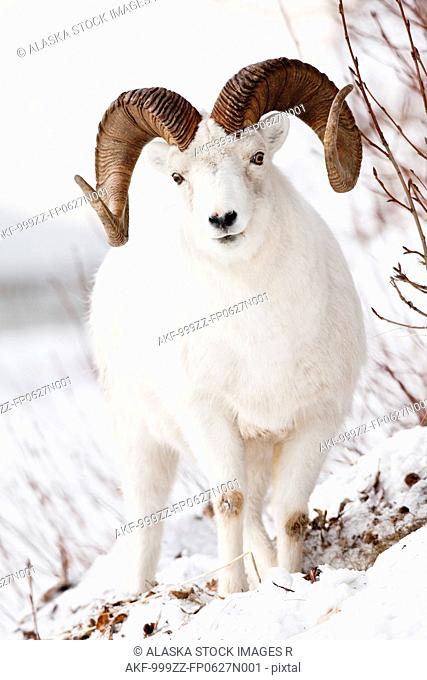 Front view of a full-curl Dall sheep ram, Chugach mountains, Southcentral Alaska, Winter