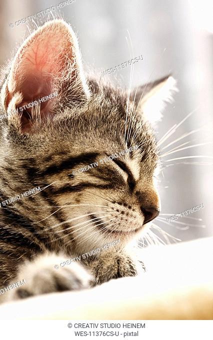Domestic cat, kitten sleeping, portrait, close-up