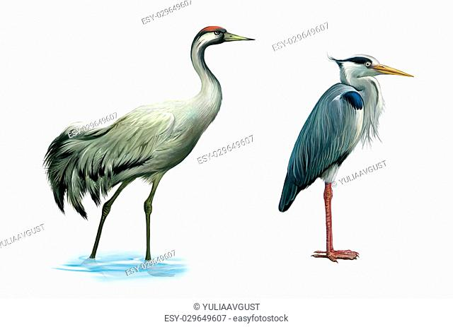 Crane bird. heron. hern. Detailed image of a gray egret wader. isolated realistic illustration on white background