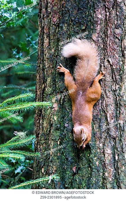 Red squirrel (Sciurus vulgaris) Scotland, UK