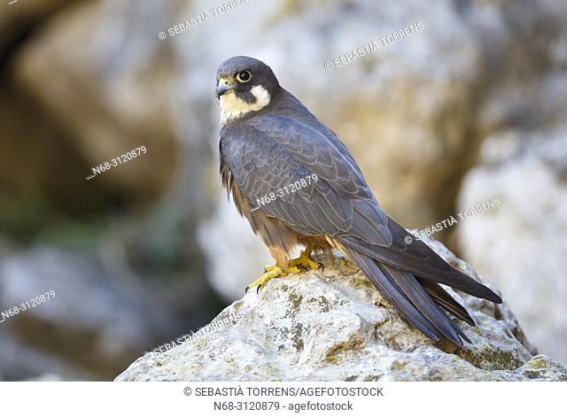 Eleonora's Falcon (Falco eleonorae), Majorca, Balearic Islands, Spain