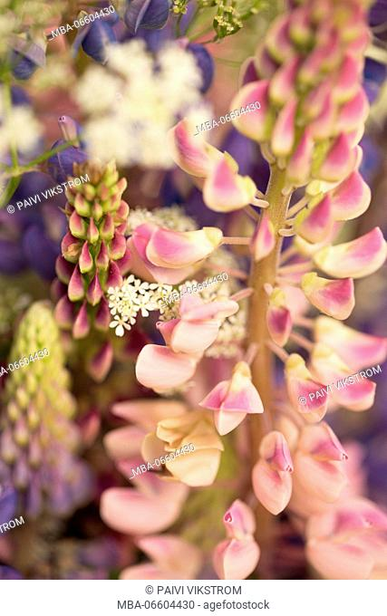 Close-up of pink lupine, wildflower bouquet