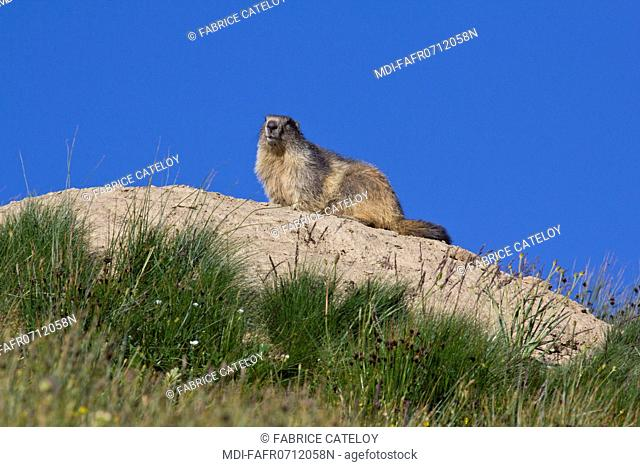 Nature - Fauna - Marmot - Marmot on a rock in the natural regional park of Queyras