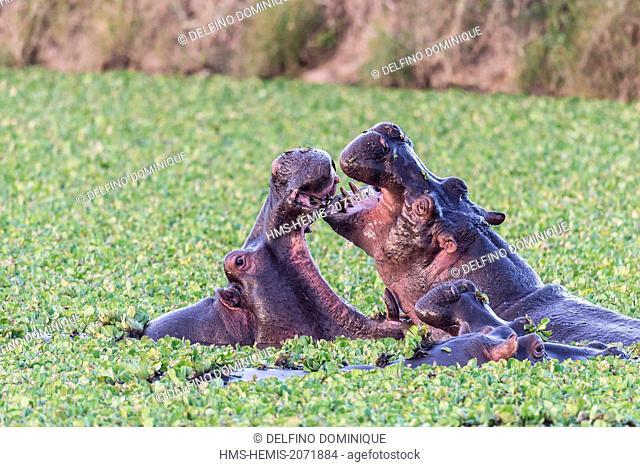 Kenya, Masai Mara Reserve, Hippopotamus amphibius, clash in a water
