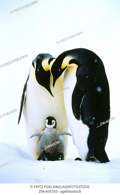 Emperor Penguins and chick (Aptenodytes forsteri). Antarctica