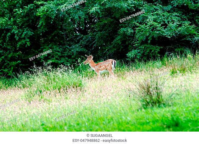 Beautiful dear walking in peace through nature, Haderslev, Denmark