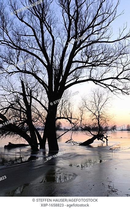 White willow Salix alba on a flooded and frozen polder meadow, Unteres Odertal National Park, Germany