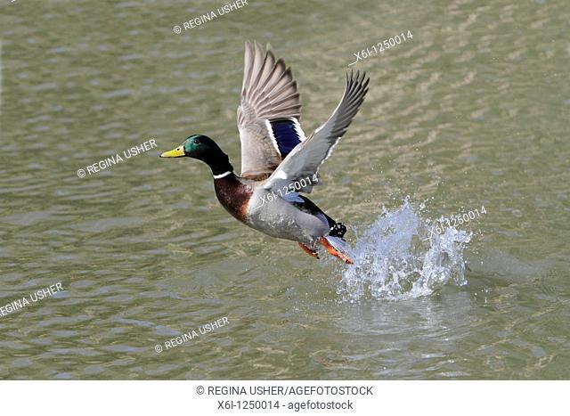 Mallard Anas platyrhynchos, drake in flight taking off from lake, Germany
