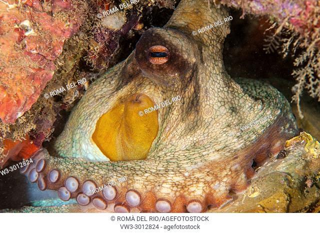 common octopus (Octopus vulgaris), L'escala, Costa Brava, Catalonia, Spain