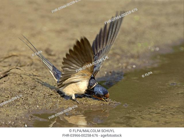 Barn Swallow Hirundo rustica adult, collecting mud for nesting material, Oxfordshire, England