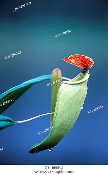 Madagascarian Pitcher Plant (Nepenthes madagascariensis), pitcher with fly, Madagascar
