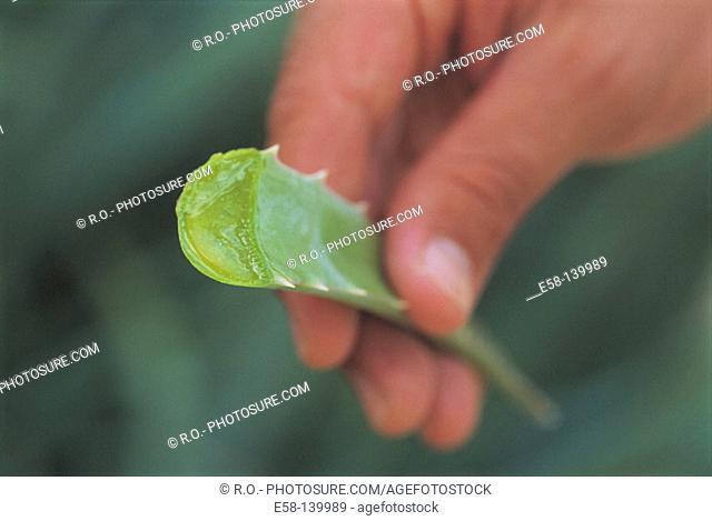 Aloe (Aloe vera)