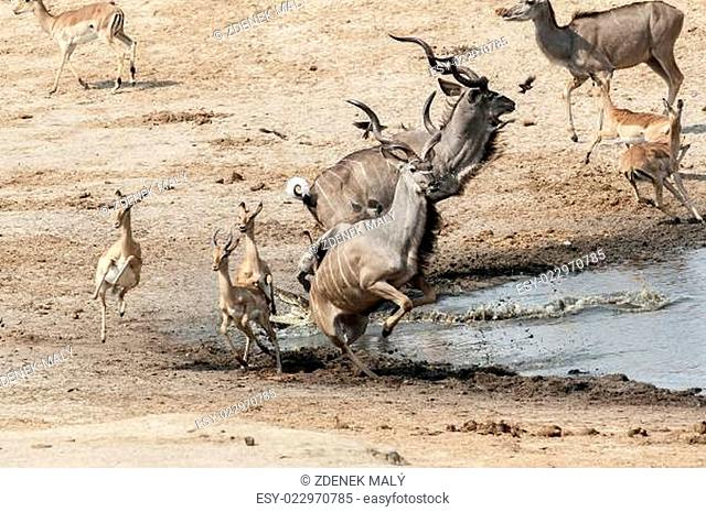 unsuccessful attack on crocodile to antilops kudu and unsuccessful crocodile attack on antilops