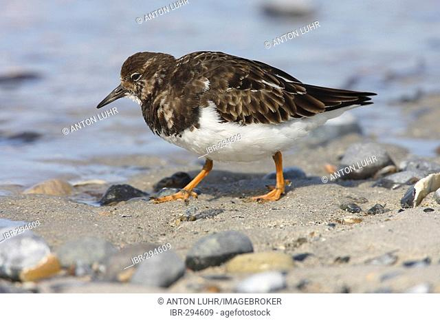 Turnstone ( Arenaria interpres )