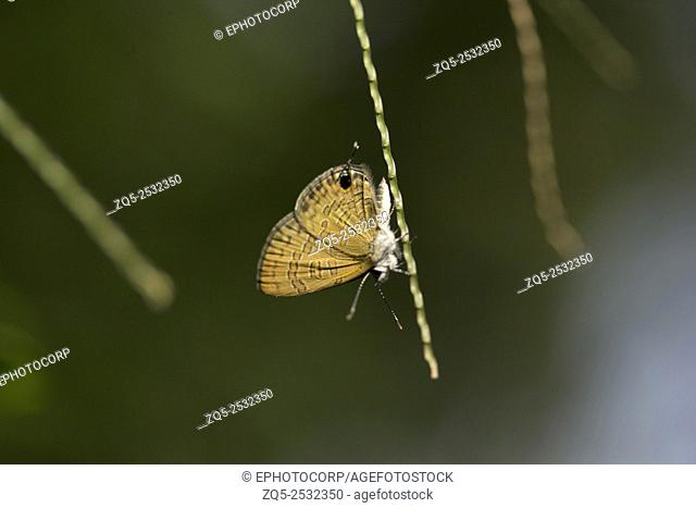 Butterfly, Lycaenidae, Near Gurjee, Tripura , India