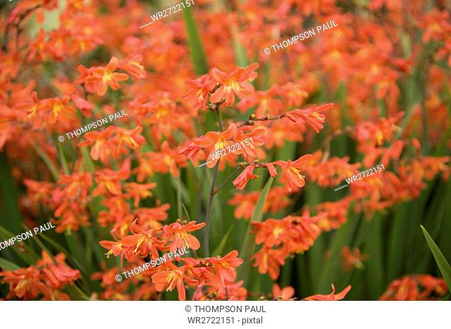 90900148, Monbretia, orange, flower, flowers, flor