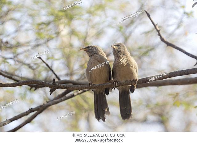 Asia, India, Rajasthan, Ranthambore National Park, Jungle babbler (Turdoides striata)