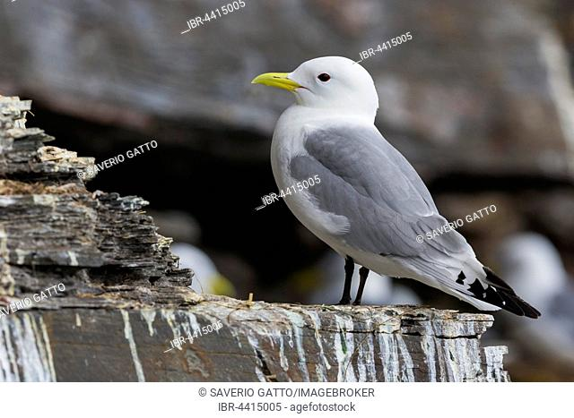 Black-legged Kittiwake (Rissa tridactyla), adult bird perched on a rock, Ekkerøy, Finnmark, Norway