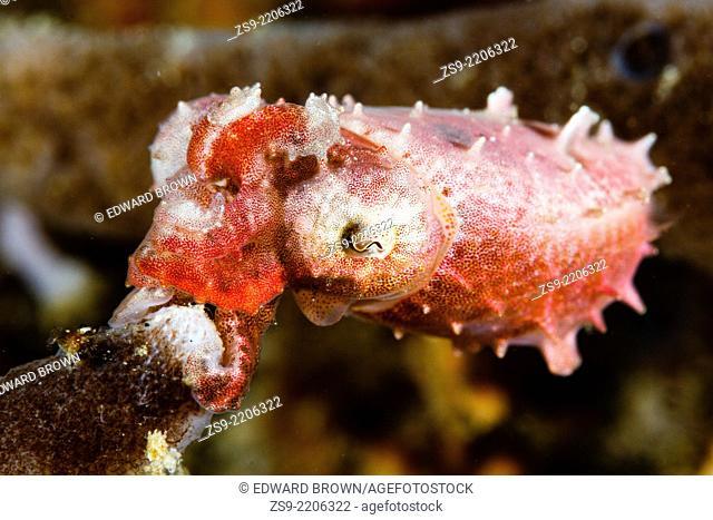 Pygmy cuttlefish (Sepia bandensis) Lembeh Strait, Indonesia