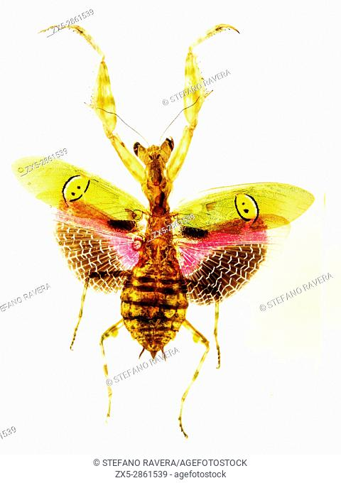 Flower Mantis in resin