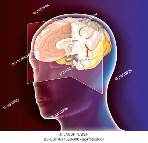 Illustration of the anatomy of the brain, on a medial sagittal plane cross-section of the right hemisphere and a frontal cross-section of the left hemisphere