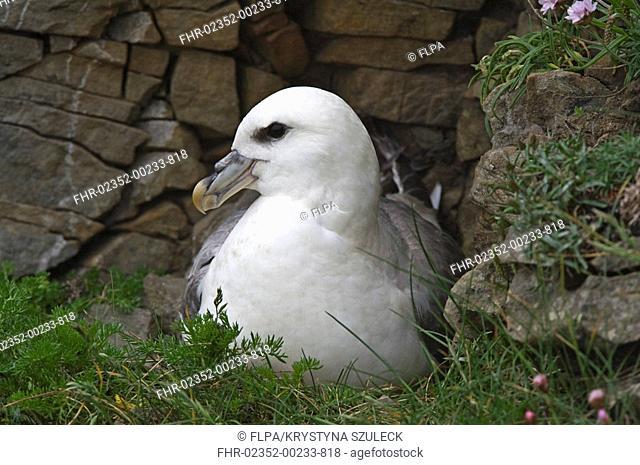 Northern Fulmar Fulmaris glacialis adult, sitting at nest beside drystone wall, Sumburgh, Shetland Islands, Scotland, june