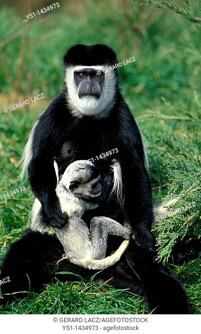 BLACK AND WHITE COLOMBUS MONKEY colobus guereza, MOTHER WITH YOUNG