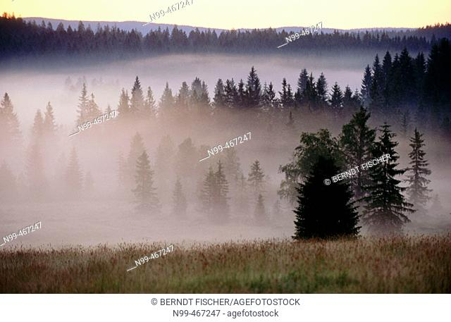 Pine forest, morning fog, sunrise. Raised bog. High moor. Knizeci Plane. Strictly protected area. National Park Sumava. Czech Republic